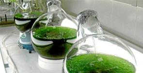 Microalgas-para-producir-biocombustibles